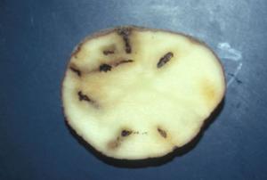 Fotografija uničenega gomolja krompirja